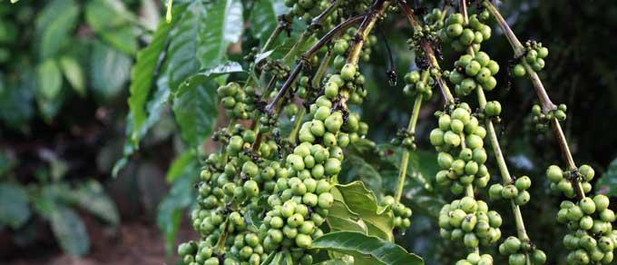 Kaffeplante